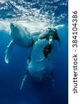 humpack whale mother with calf   Shutterstock . vector #384104386