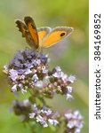 Small photo of Closeup Pyronia butterfly feeding on flower
