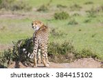 Small photo of A cheetah (Acinonyx jubatus) on the Masai Mara National Reserve safari in southwestern Kenya.