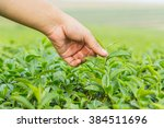 keep and caring the tea leaves | Shutterstock . vector #384511696