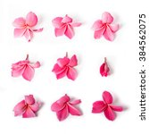 Stock photo group of pink frangipani isolated on white 384562075