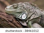 Close-up of a sleeping Green Iguana - stock photo