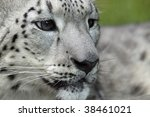 Close-up of a young Snow leopard - stock photo