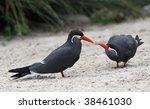 Pair of Inka Terns - stock photo