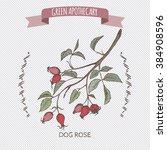 rosa canina aka dog rose color... | Shutterstock .eps vector #384908596