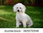 French White Poodle Sit On...
