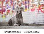 Beautiful Weimaraner Dog Posin...
