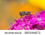Small photo of dronefly on pink silene ameria