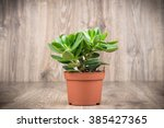 crassula plant in the pot on... | Shutterstock . vector #385427365