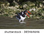 Small photo of American Oystercatcher pair work shoreline at Alafia Banks