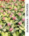 Small photo of Bromeliad (Aechmea fasciata) flowers in garden