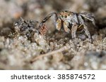 Small photo of Jumping Spider male (Aelurillus v-insignitus)