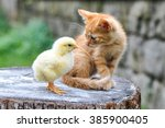 Stock photo a kitten plays with a baby chick 385900405
