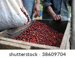 Coffee beans - Guatemala - stock photo