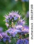 Garden Flower Phacelia