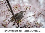 Small photo of Brown-eared Bulbul (Hypsipetes amaurotic) on Sakura tree in cherry blossom season in japan.