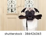 Stock photo pug dog waiting a the door at home with leather leash in mouth ready to go for a walk with his 386426365