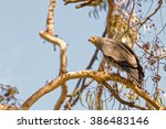 Small photo of African Harrier-Hawk in Aberdare, Kenya