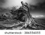 Old Juniper Tree El Sabinar Of...