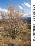 Small photo of Spring in abruzzo: isolated almond tree in the mountain.