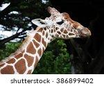giraffe portrait showing head... | Shutterstock . vector #386899402