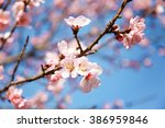 vivid color of cherry blossom... | Shutterstock . vector #386959846