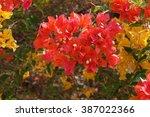 Red Old Rose Bougainvillea...