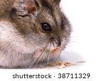 Dwarf Hamster Eating Pumpkin...