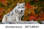 Young Arctic Wolf Looking At...