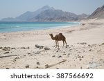 camels on the beach in oman | Shutterstock . vector #387566692