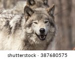 A Lone Timber Wolf In Winter