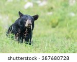 A Lone Black Bear In Some Gras...