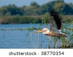 american great white pelican ... | Shutterstock . vector #38770354