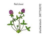 Red Clover Or Trifolium...