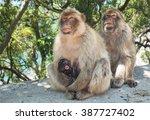 monkey in gibraltar   Shutterstock . vector #387727402