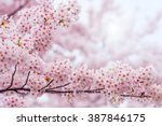 cherry blossom with soft focus  ... | Shutterstock . vector #387846175