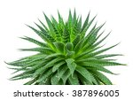 aloe plant on white background | Shutterstock . vector #387896005