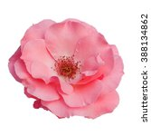 Stock photo beautiful pink rose flower isolated on white background way in paths 388134862