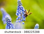 Honey Bee Collect Nectar From...
