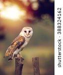 A Beautiful Barn Owl  Tyto Alb...