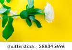 white rose in his hand on a... | Shutterstock . vector #388345696