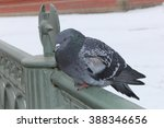 Lonely And Frozen Pigeon