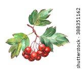 hawthorn berries   watercolor... | Shutterstock . vector #388351162