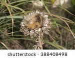 Small photo of Seed heads of globe artichoke (Cynara cardunculus var. scolymus) a variety of a species of thistle cultivated as a food disperse viable seeds in autumn which will germinate into new plants .