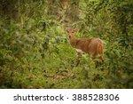 hog deer on the grassland of... | Shutterstock . vector #388528306