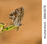 Small photo of Cacyreus marshalli butterfly from Toscane in warm light