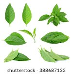 Small photo of Adhatoda vasica or medicinal Basak leaf isolated on white.
