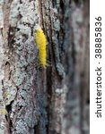 Small photo of American Dagger Moth crawling on a tree