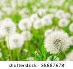 fluffy dandelions | Shutterstock . vector #38887678