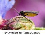 Dark-winged fungus gnat, Sciaridae on bud